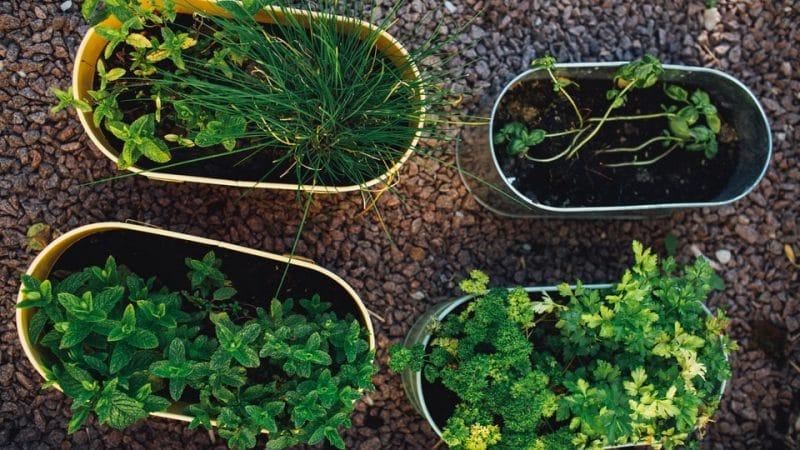 Herb Garden Ideas - Plastic Pots